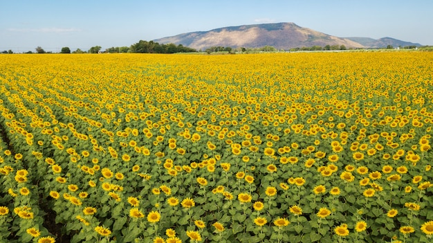 Aeiral photo from dron. beautiful sunflower  field on summer with blue sky and white cloudy at lop buri province