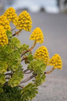 Aeonium (aeonium simsii) succulent