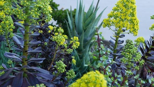 Цветок желтого дерева aeonium arboreum houseleek, калифорния, сша. ирландская роза темного сочного соцветия. домашнее садоводство, американское декоративное декоративное комнатное растение, природная ботаническая атмосфера пустыни