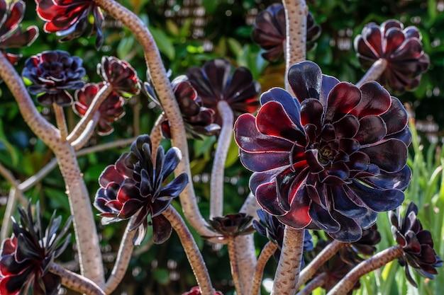 Aeonium schwarzkopf、茎と美しい紫色、ほぼ黒い花びらのクローズアップ