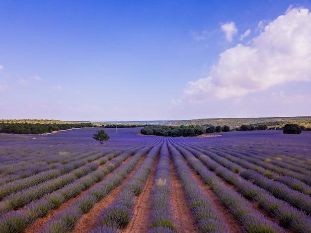 Aerial drone lavender field landscape in brihuega guadalajara castillala mancha