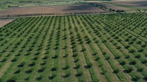 Воздушный беспилотный вид сверху рядов плантации зеленых фруктовых деревьев. возделываемый полевой ландшафт.