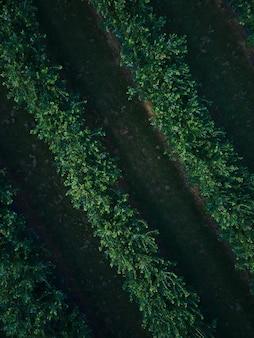 Вид с воздуха трутня поле куста голубики, органическое спелое. голубая ягода, висит на ветке, био, здоровое питание, вид сверху, ферма с ягодами