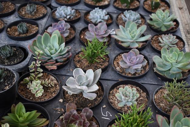 선인장 농장 또는 짐노칼리시움의 검은 냄비에 있는 미니 선인장 식물의 공중