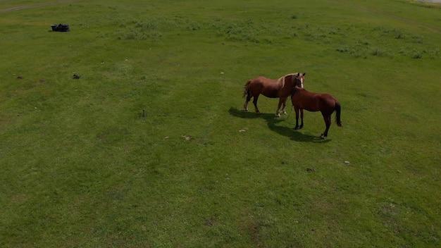 Антенна над двумя дикими лошадьми в дикой природе полей через луг. коневодство, экология, конный спорт, концепция разведки. коричневая домашняя лошадь пасется на лугу в солнечный весенний день