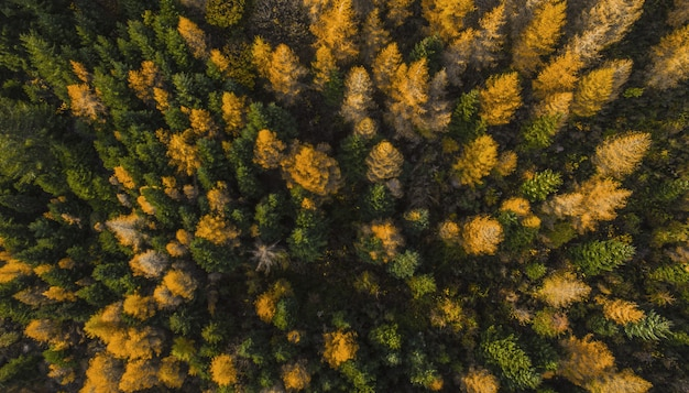 Aerial overhead shot of a forest of green and yellow pine trees
