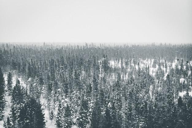 トウヒの木の空中写真