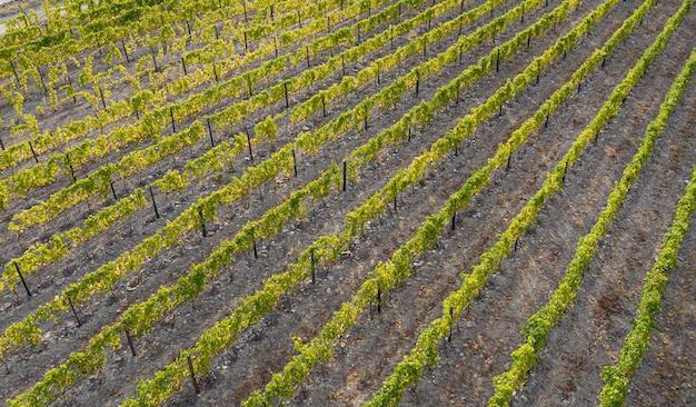 와인 생산을 위해 재배 된 덩굴의 항공 사진