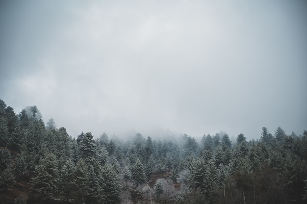 Aerial shot of the evergreen pine trees under a gloomy cloudy sky