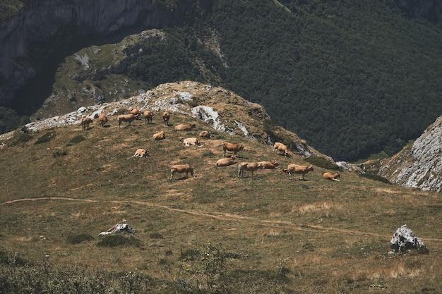 Ripresa aerea di una mandria di mucche al pascolo sulle colline erbose in un parco naturale a somiedo, spagna