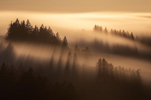 霧の黄色い空の下で背の高いトウヒの木の空中ショット