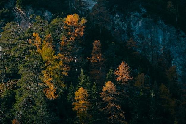 화창한 날에 산 근처에 노란색과 녹색 낙엽송 나무의 공중 탄