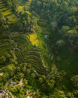 Aerial shot of the rice hills surrounded by greens and trees