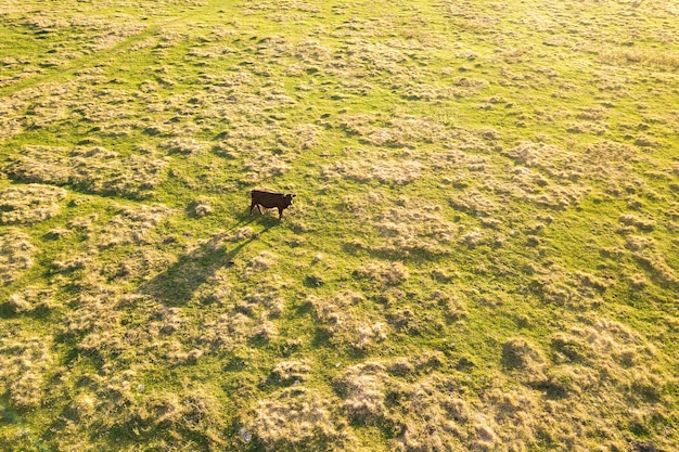 Aerial top down view of a cow grazing alone on green meadow.