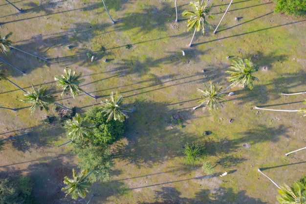 Aerial top view of cows in a coconut plantation