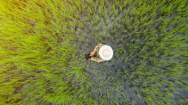 Aerial top view of farmer using digital tablet in a green rice field, view from above shot by drone