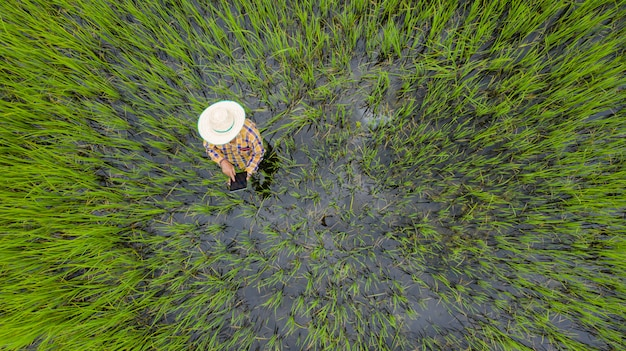 Aerial top view of farmer using digital tablet in a green rice field