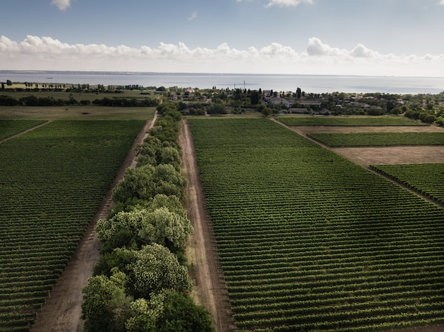 Aerial top view from drone to vineyard