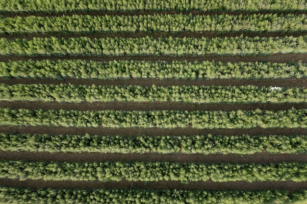 Aerial top view garden green flower in a rows abstract background in thai