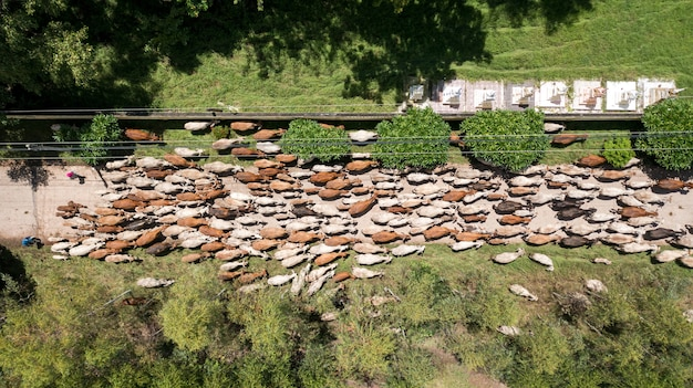 Вид сверху на массы многих коров, гуляющих в сельской местности, таиланд
