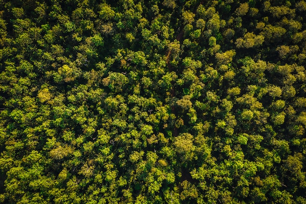 Aerial top view pine forest utopia area in chiang mai thailand