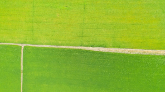 Aerial top view of the yellow and green rice fields
