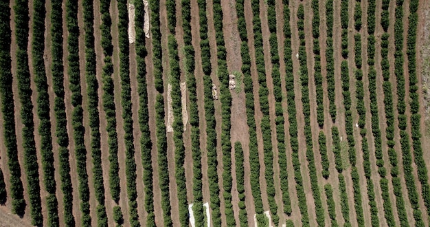 Aerial view of a coffee farm. coffee plantation. coffee growing. 4k.