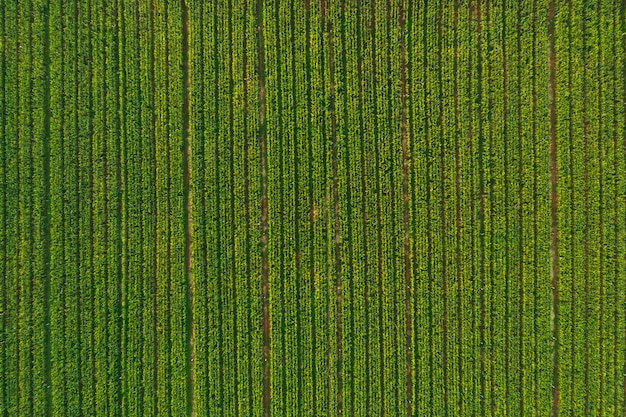Aerial view of corn tree fields forest
