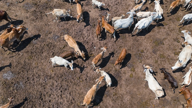 Aerial view of cows, pasture in countryside thailand