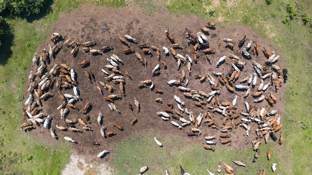 Aerial view of cows, view from drone flight over pasture in countryside thailand