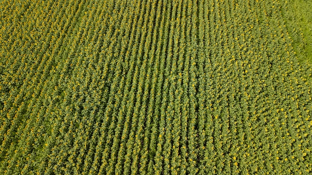 Aerial view of cultivated sunflower field in summer