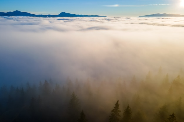 Aerial view of dark green pine trees in spruce forest in foggy fall mountains.