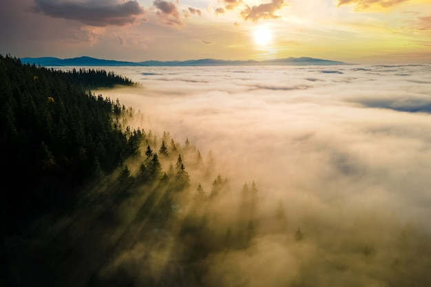 Aerial view of dark green pine trees in spruce forest with sunrise rays
