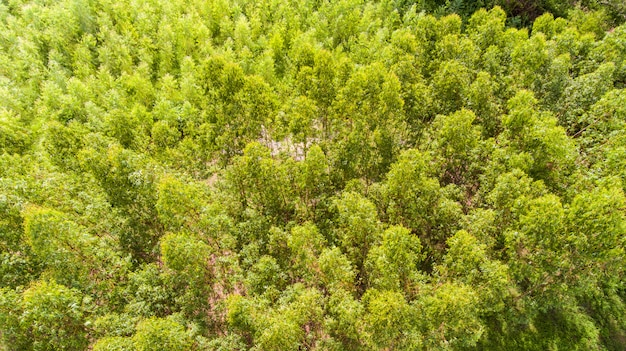 Aerial view of eucalyptus forest.