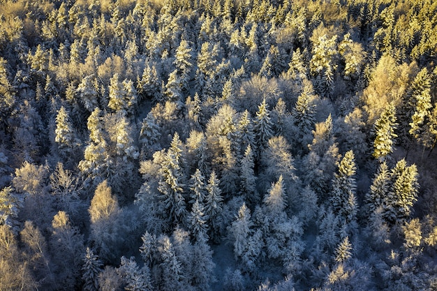 Aerial view of an evergreen forest covered in the snow under the sunlight