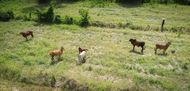 공중 전망 들판과 암소 자연 농장 배경, 위에서 내려다보는 들판, 다양한 작물의 잔디를 풀을 뜯고 있는 소 떼, 아시아의 새 눈 전망
