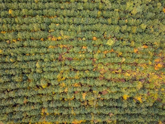 어린 나무에서 가을 숲 위의 무인 항공기에서 공중보기.