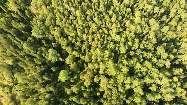 Aerial view from drone of green grove with conifers trees