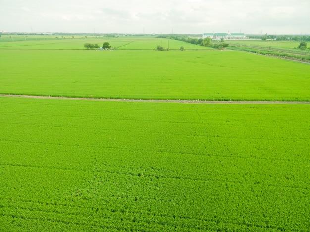 Аэрофотоснимок летающего дрона полевого риса