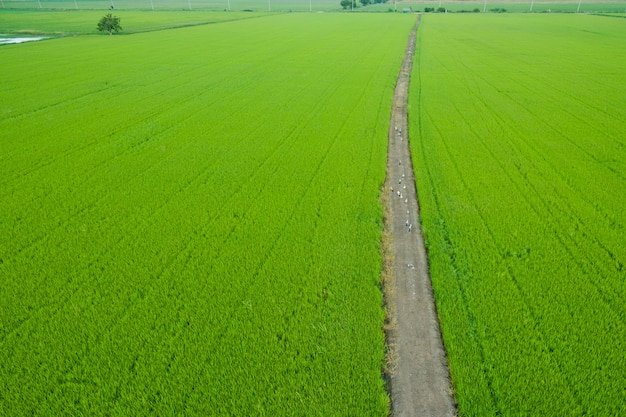 Aerial view from flying drone of rice field
