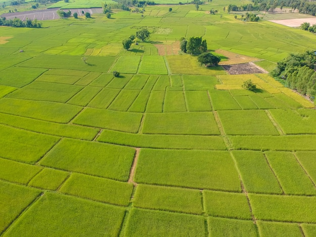 Aerial view green rice paddy filed from above, farm and agricultural land at kalasin in thiland.