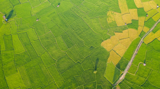 Aerial view of the green and yellow rice field landscape different pattern
