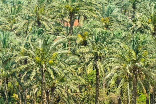 Вид с воздуха на природу пальм. образец плантации промышленного дерева пальмового масла. в лесу много ярко-зеленых пальм.