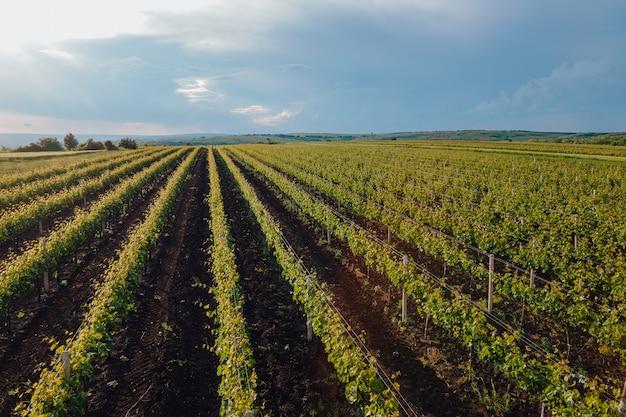 늦은 오후에 포도밭 농장의 공중 전망은 농업 농장 포도 덩굴 포도원 서사시 일출 공중 포도원 비디오를 조명합니다.