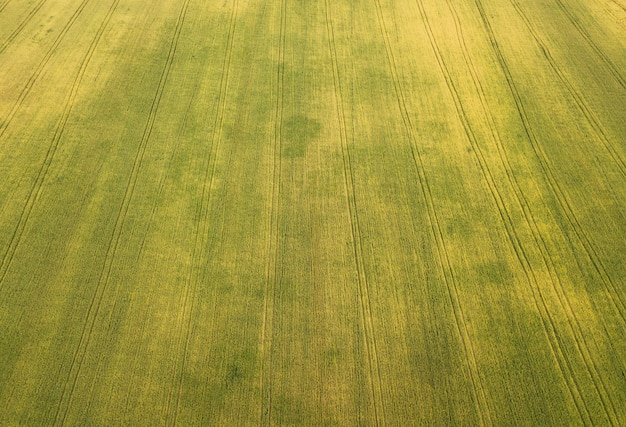 Вид с воздуха на пшеничное поле.