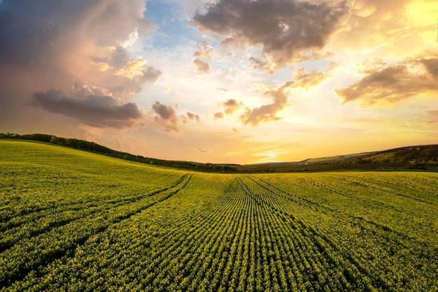 Вид с воздуха на ярко-зеленое поле сельскохозяйственной фермы с растущими растениями рапса на закате.
