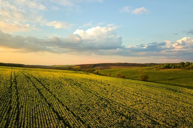 일몰에 유채 식물이 자라는 밝은 녹색 농업 농장의 공중 전망.