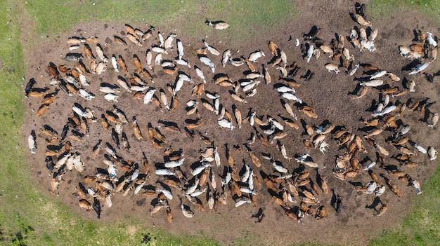 Вид с воздуха на коров, пастбище в сельской местности таиланда