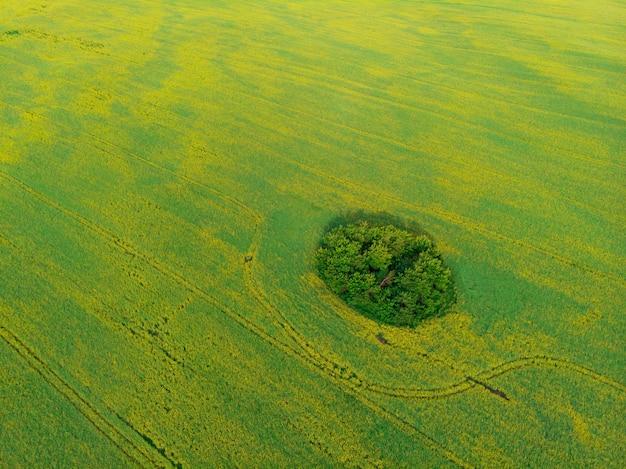 드론 pov에서 재배된 유채 밭의 항공 보기