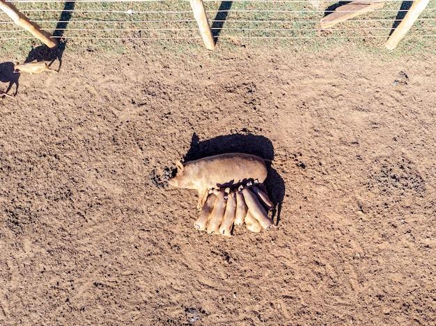 肥育場の真ん中に横たわっている間彼女の若い子豚を哺乳している雌豚の航空写真